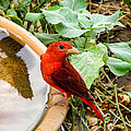 Summer Tanager by Shannon Story