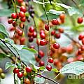 Summer Wild Berries by Cheryl Baxter