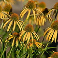 Summer Yellow Echinacea Flowers by P S