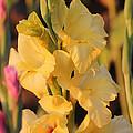 Summer Yellow Gladiolus by Carol Groenen