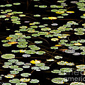 Summer's End Lily Pads by Alan L Graham