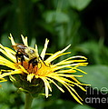Summertime Bee by Kitrina Arbuckle