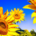 Summertime Sunflowers by Bob Orsillo