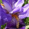 Sun Dance Iris by Lingfai Leung
