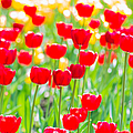 Sun Drenched Tulips - Featured 3 by Alexander Senin