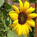 Sun Flower by Lorenzo Williams