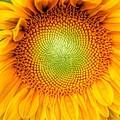 Sun Flower Power by Susan Garren