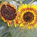 Sun Flowers by Augusta Stylianou