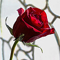 Sun Kissed Rose by Mechala Matthews