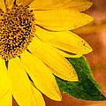 Sun-kissed Sunflower by Jon Woodhams