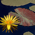 Sun-kissed Water Lily by Lindley Johnson