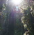 Sun Penetrates The Redwood Forest by Mick Anderson