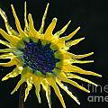 Sun Rays by Susan Herber