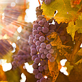 Sun Ripened Grapes by Diane Diederich