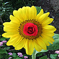 Sun Rose by Eric Kempson