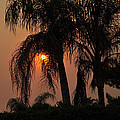 Sun Setting Behind The Queen Palm Covered In Smoke by Jay Milo