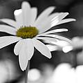 Sun-speckled Daisy by Don Schwartz