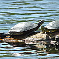 Sun Stretching Turtle And Youngster by Nicki Bennett