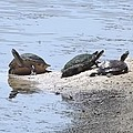 Sun Turtles by Linda Kerkau