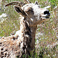 Sunbathing Mountain Sheep by Athena Mckinzie