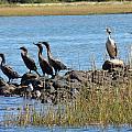 Sunbathing Cormorants  by Anastasia Konn