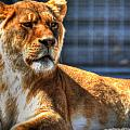 Sunbathing Lioness  by Michael Frank Jr