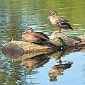 Sunbathing Mallards Reflecting by Nicki Bennett
