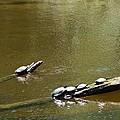 Sunbathing Turtles by Linda Kerkau