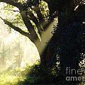 Sunbeam Tree by D Hackett