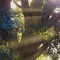 Sunbeams In The Tree by D Hackett