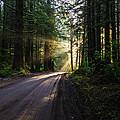 Sunburst At Redwood National Park by Vishwanath Bhat