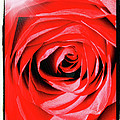 Sunburst On Red Rose With Framing by Carol Groenen
