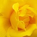 Sunburst Rose Flower by Jennie Marie Schell