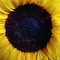 Sunflower 1 by Joseph Hedaya