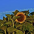 Sunflower 1 by SC Heffner