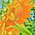 Sunflower 2 by Rod Wiens