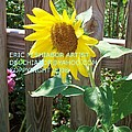 Sunflower 3 by Eric  Schiabor