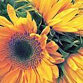 Sunflower A by Pepsi Freund