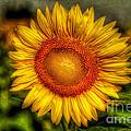 Sunflower by Adrian Evans