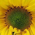 Sunflower Aglow by Roxy Hurtubise