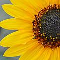 Sunflower by Amanda Raba Johnson