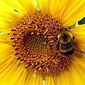 Sunflower And A Bee by Will Borden