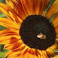 Sunflower And Bee-4041 by Gary Gingrich Galleries