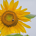 Sunflower And Bee by Amber Flowers