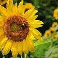 Sunflower And Bee II by Sharon Horn