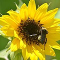 Sunflower And Bee by Maria Urso