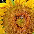 Sunflower And Bees by Robert Frederick