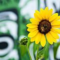 Sunflower And Graffiti  by Mark Weaver