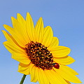 Sunflower And Ladybird Beetle 2am-110488 by Andrew McInnes