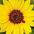 Sunflower And Ladybird Beetle 2am-110490 by Andrew McInnes